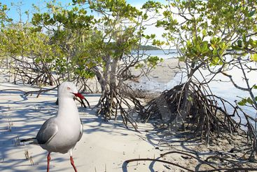 Seagull and Mangroves on a pristine white sandy tropical...
