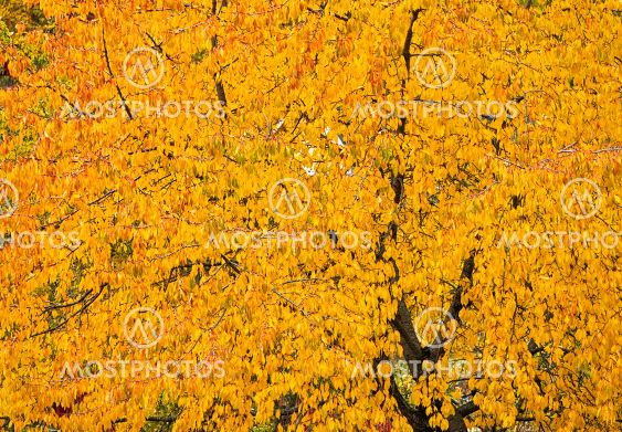 Background of a big yellow tree in autumn.
