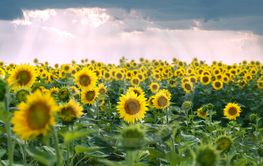 field of sunflowers and stormy clouds