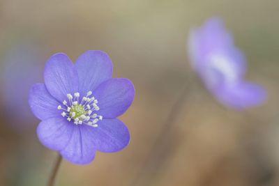 Hepatica nobilis during spring