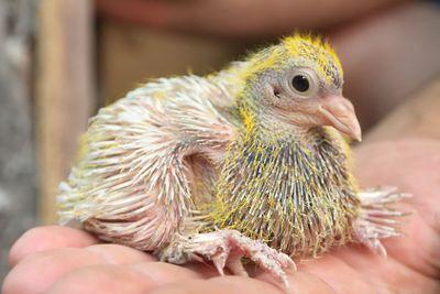 Pigeon baby nestling sitting on hand bird