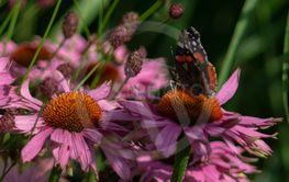 Red Admiral on Echinaceas