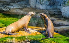 Sea lion couple sitting together on a rock at the...