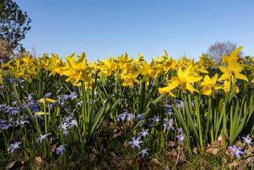 Yellow daffodils and blue flowers
