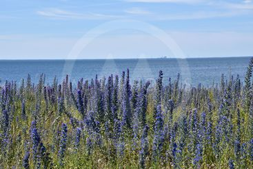 Närbild av blommande blåeld vid Djupvik på Öland