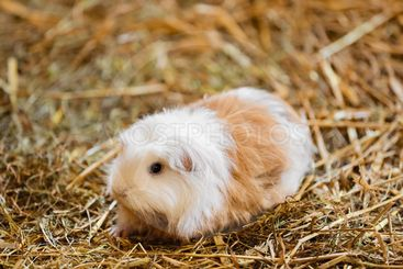 Cute Red and White Guinea Pig Close-up. Little Pet in...