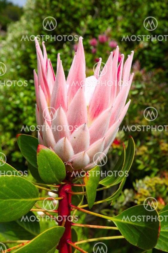 A king protea plant (Cynaroides) starting to bloom.