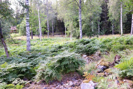Ormbunkar i skogen vid Högbo bruk