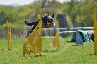 Dog, agility intensive training.