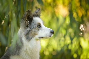 Portrait of border collie with amazing background.