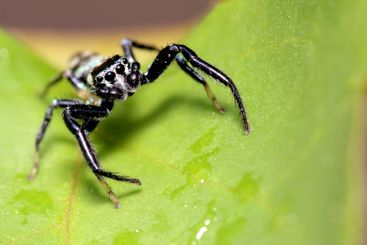 jumping spider, Malaysia