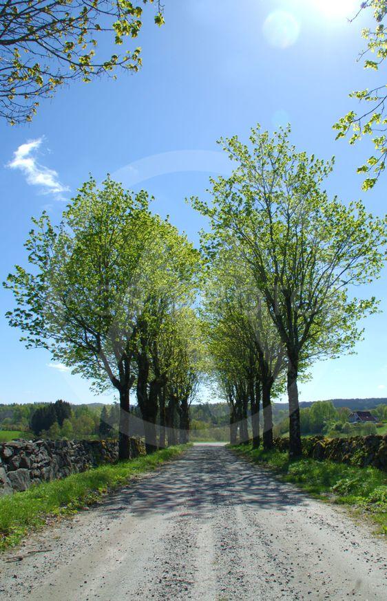 Trädallé kring grusväg, stenmurar vid sidor och blå himmel.