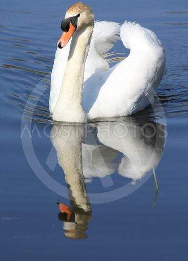 A swan floating on his own reflection