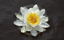 Beautiful white waterlily floating in dark water.