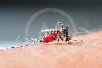 Mosquito sucking blood_set B-2