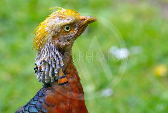 Colourful golden pheasant bird close up