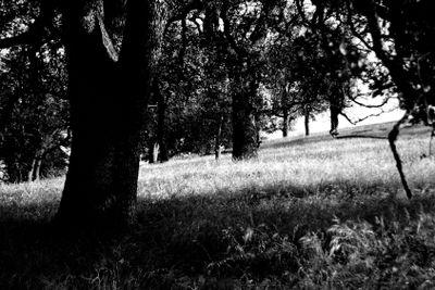 grainy oak trees