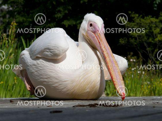 Pelican fugl