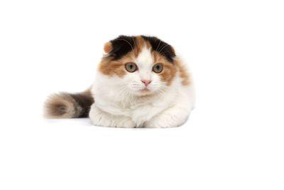 Scottish Fold Cats on a white background
