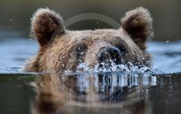 swimming bear portrait
