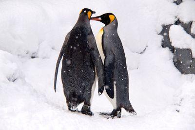 Couple of lovely King Penguins, Hokkaido, Japan