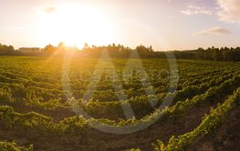 Aerial view of a green vineyard in Portugal