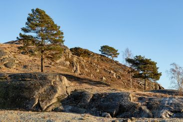 Pine trees standing on a hill