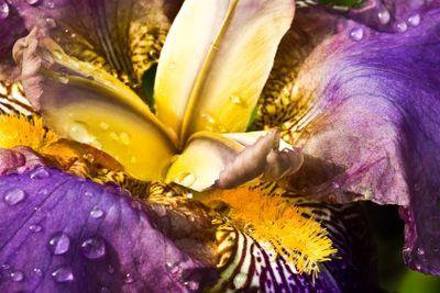 Purple German Iris or Iris germanica macro