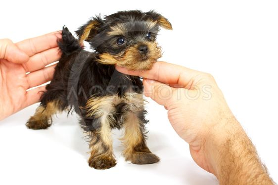 Cute pretty Yorkshire terrier puppy dog sitting. isolated