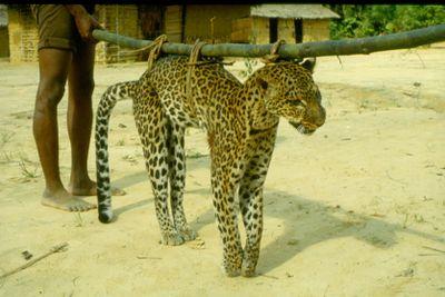 Leopard hunt in Zaire
