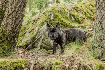 Min Franska Bulldog