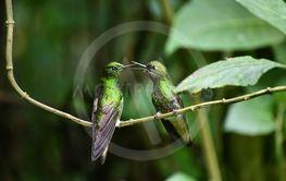 Två vackra Kolibrier