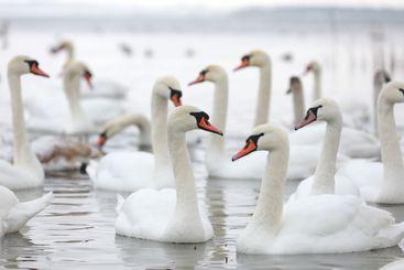 White swan flock in spring water. Swans in water. White...