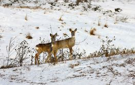 two curious roe deers in a winter day