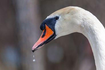 Närbild av svan fågel näbb och  huvud i profil.