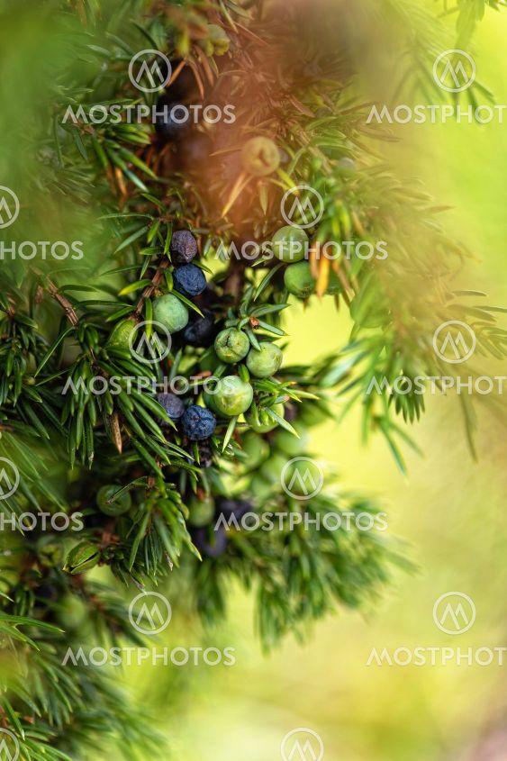 närbild av gröna och blå enbär på enbuske