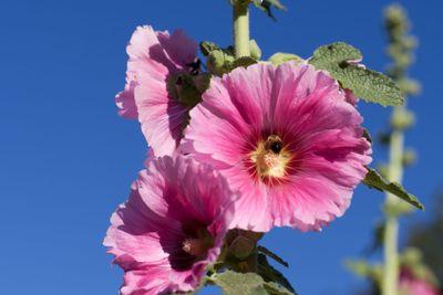 Pink Hollyhocks with Blue Sky