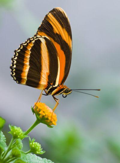 Banded Orange Tiger butterfly
