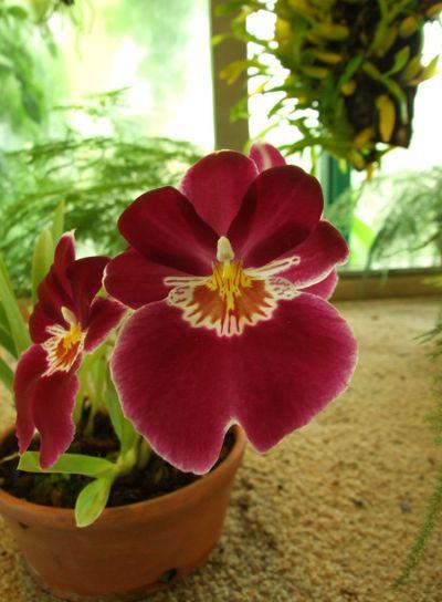 Dark red orchid