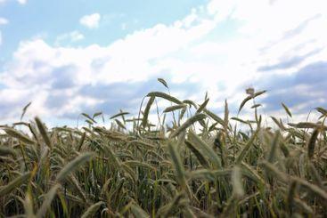 Closeup of individual stalks of wheat on grain field...