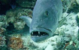 Grouper fish closeup