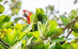 Scarlet macaw in Costa Rican forest