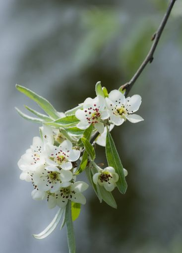 White blossom in spring on pear tree
