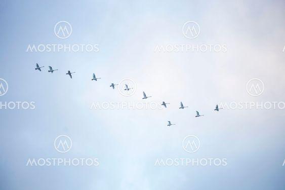 Swans leaving