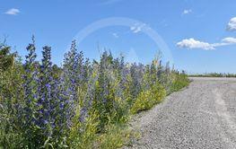 Vägkantsblommor i Sädra Ölands odlingslandskap