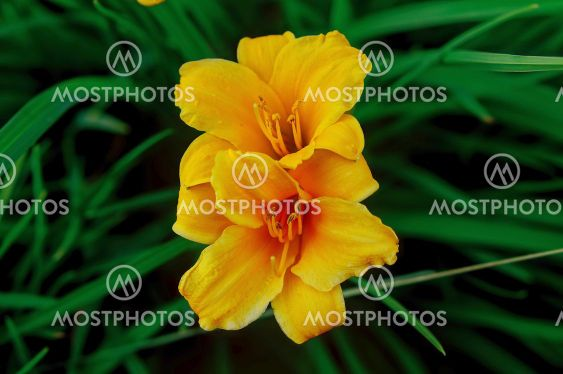 yellow lily, on the background of grass