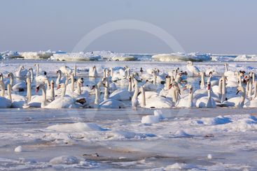 A flock of swans