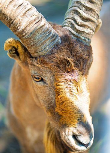 Kuban Tur in zoo aviary. Close-up. cloven-hoofed wild...