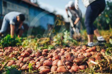 Harvest time concept. Farmer harvesting fresh organic...