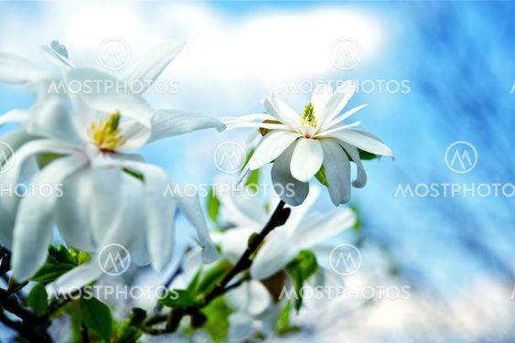 Magnolia Star Flowers